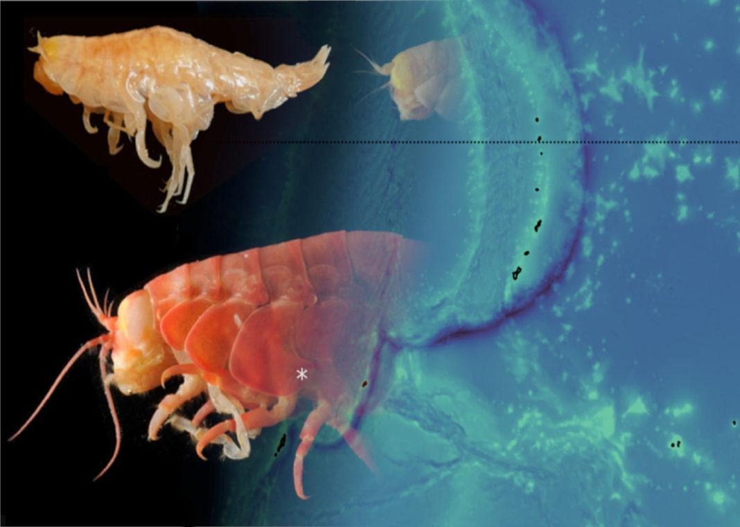 Microplastics Found in Crustaceans