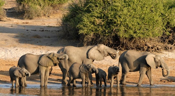 Elephant Hunting in Botswana