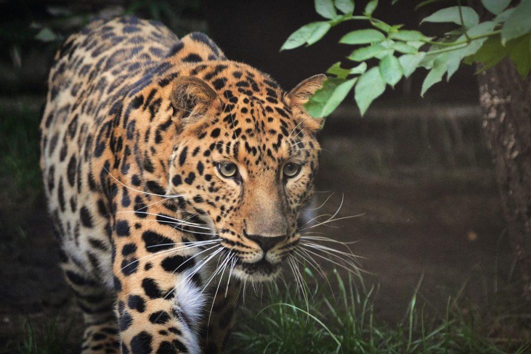 jaguar extinction