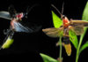fireflies extinction